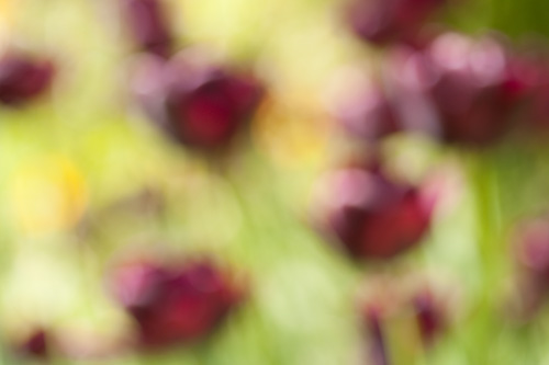 Out of focus painterly abstract photo of tulip flowers