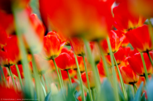 Red Tulip flowers in color