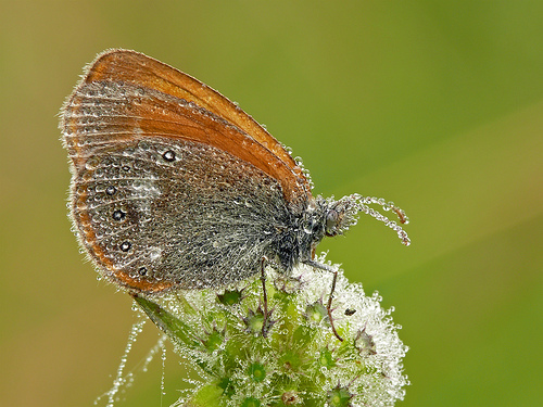Chestnut Heath (Coenonympha glycerion) butterfly covered in gleaming drops of morning dew