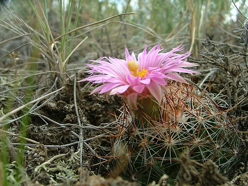 pincushion cactus in bloom, Grasslands National Park