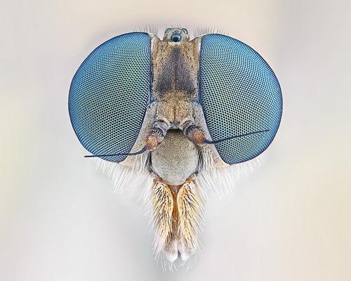 Robberfly Macro