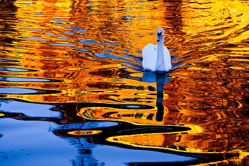Swan on lake with golden autumn leaves reflected in the water
