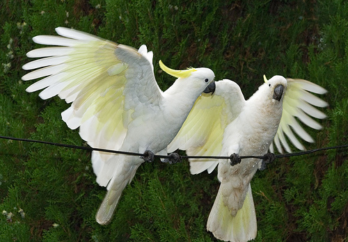 Sulphur Crested Cockatoos - fill flash used for a nice exposure