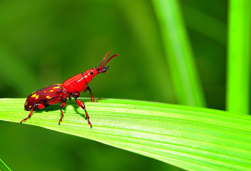 Low angle photo of a small red beetle on a long green leaf with an out of focus green background