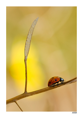 Photo taken with a 150mm macro lens of a ladybird walking along a twig