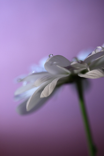 Shallow depth of field wet flower with purple background