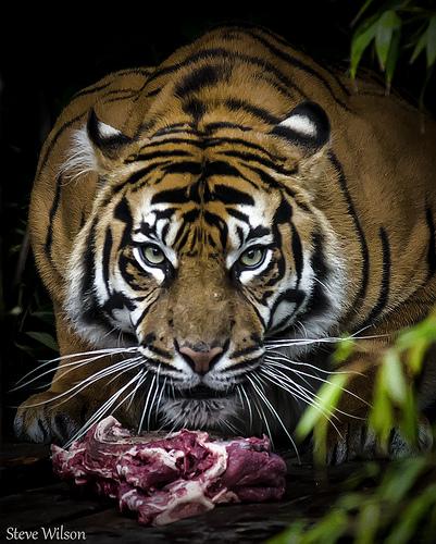 Tiger feeding in a zoo