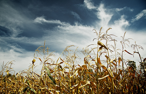 Field of corn in autumn with a dark blue sky created by use of a polarising filter