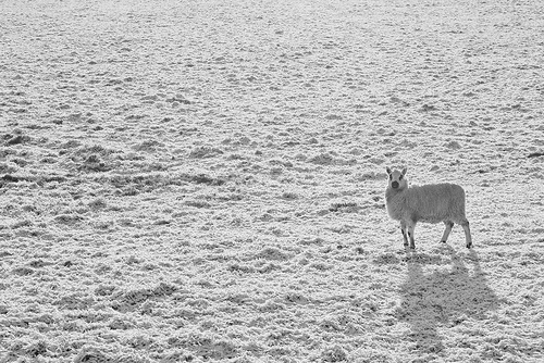 High key sheep in snow covered field