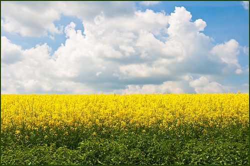Colorful photo of a field of flowering oilseed rape