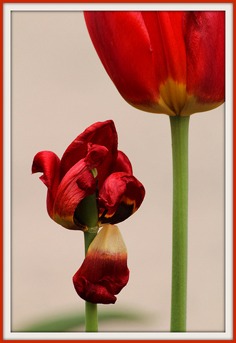 New and Old Tulip flowers