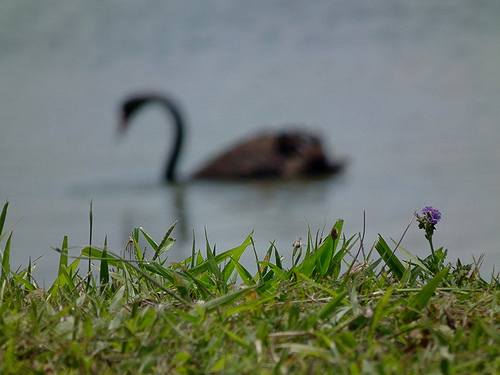 Photo of a swan with focus purposefully on the grass bank rather than the swan