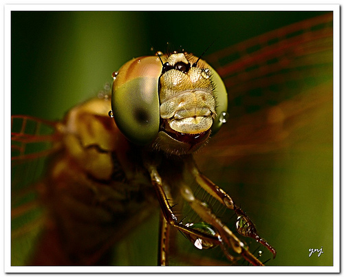 Dragonfly photo taken using a close-up diopter lens