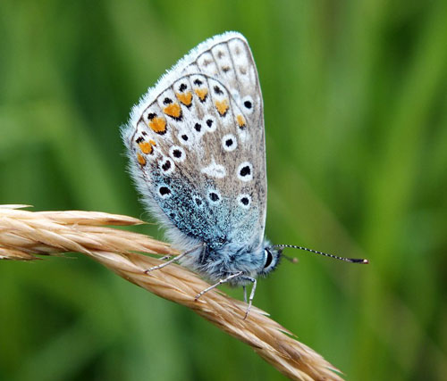 Common Blue butterfly photographed with a superzoom camera