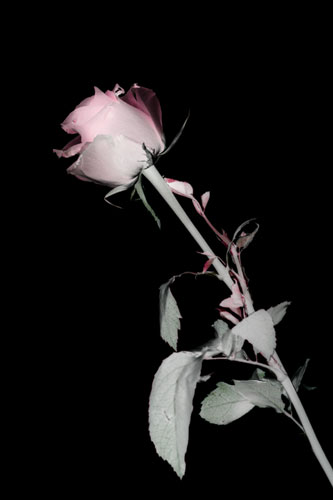 Final color photogram image of a Rose