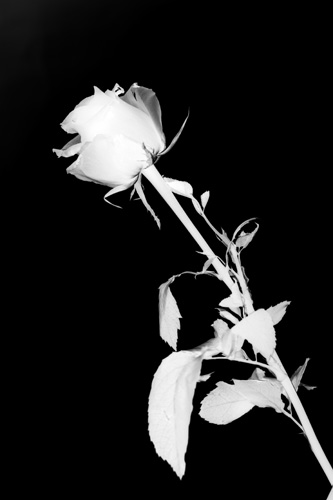 Black & White Photogram image of a flower