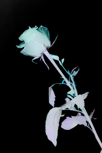 Flower photo after inverting to create a photogram