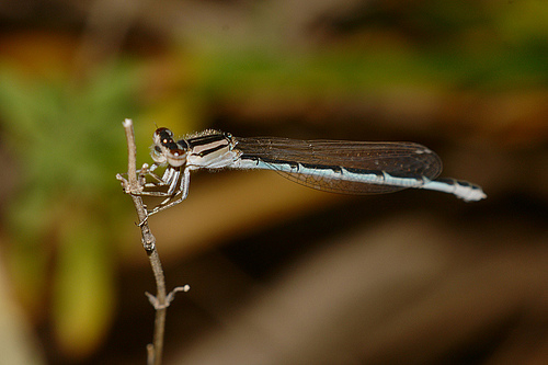 Damselfly photograph taken using a lens with extension tube attached for closer focusing
