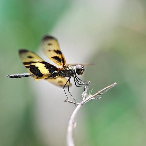 Rhyothemis variegata dragonfly resting on a twig