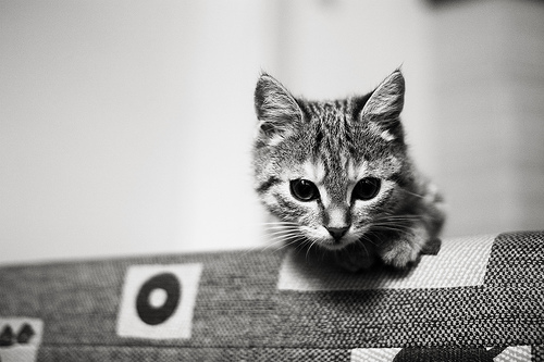 Kitten photo taken at f/1.4 to give a shallow depth of field while in-focus portion is sharp