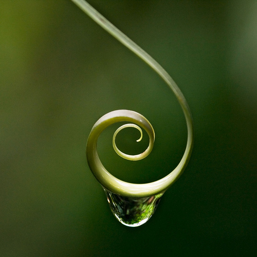 Raindrop hanging from plant curl