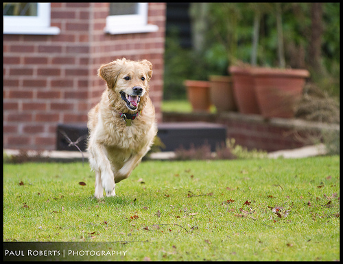 Running dog - an example where you would want to use continuous shooting drive mode combined with continuous autofocus