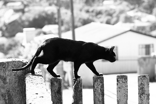 Cat walking along the top of a fence, black & white photo