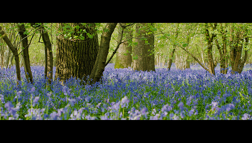Blue Carpet of bluebells in woodland