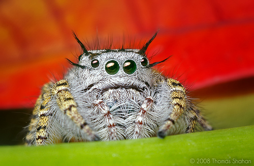 Adult Female Phidippus mystaceus Jumping Spider - flash used for lighting