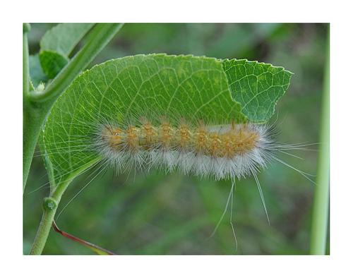 Caterpillar on underside of a leaf
