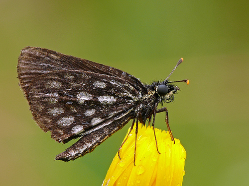 Large Chequered Skipper photographed in the early morning while it was still damp