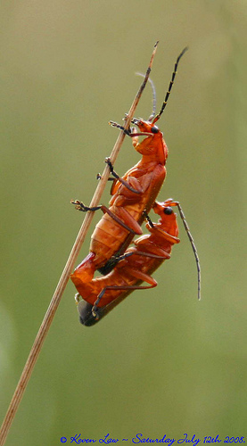 Mating soldier beetles