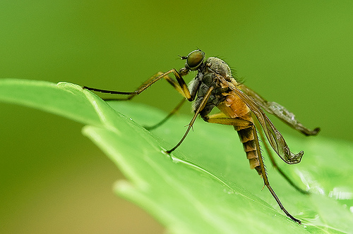 Robberfly insect macro photo