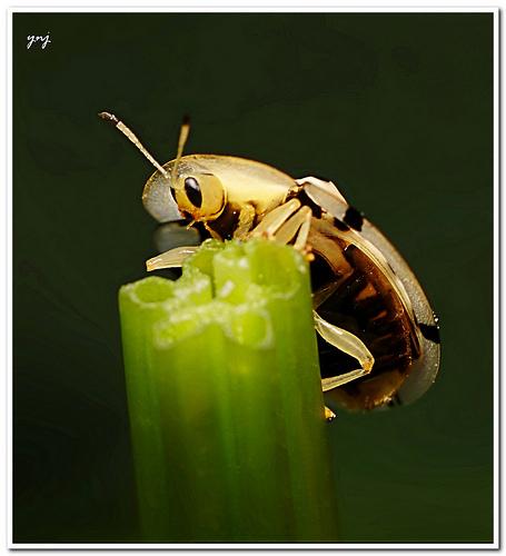 Tortoise beetle macro photograph