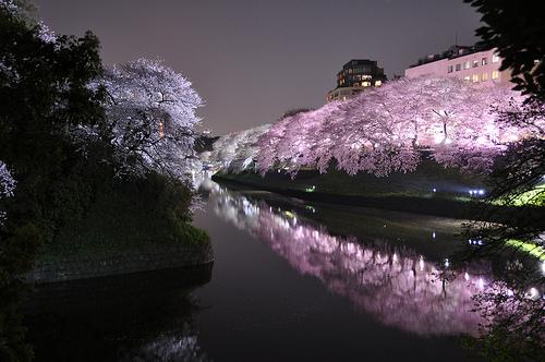 Sakura light-up at Chidoriga-fuchi in Tokyo 千鳥ヶ淵
