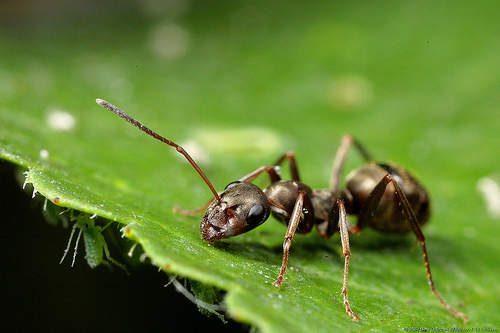 Macro photo of an ant, a small aperture was used (f/11) to get a reasonable depth of field, which is always very narrow for macro photos
