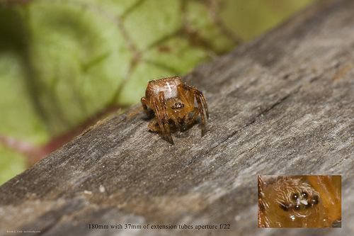 European Garden Spider (Araneus diadematus) Aperture f/22 With Tubes