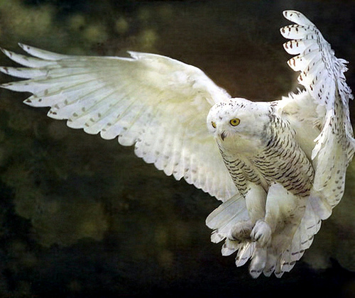 Owl in flight wildlife photo