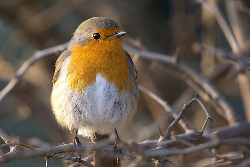 Robin wildlife portrait photo