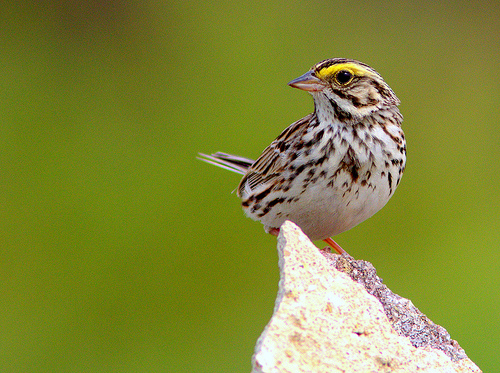 Savannah Sparrow wildlife portrait