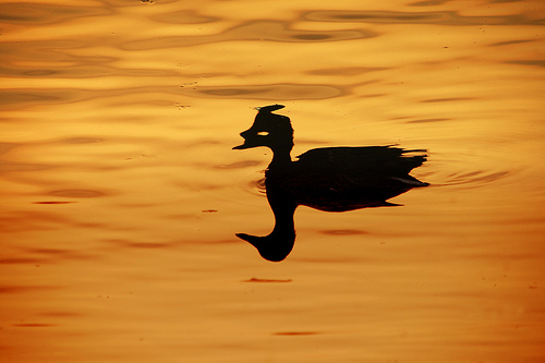Duck and shadow on golden water at sunset