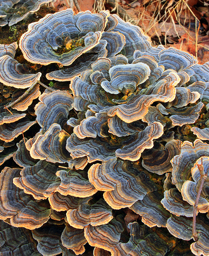 Rainbow bracket fungus (Trametes versicolor) photographed from above