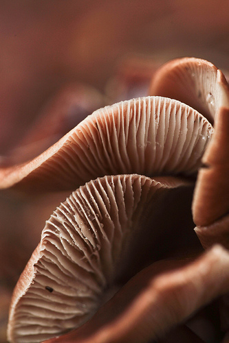 Underside of mushrooms showing gills