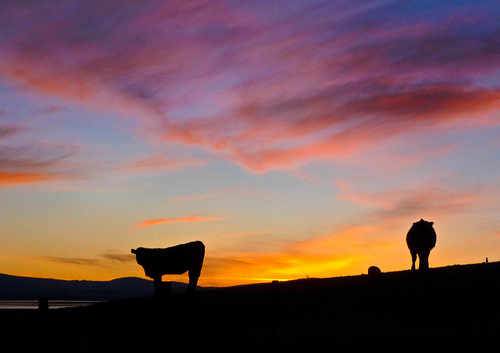 Western Sunset With Cows