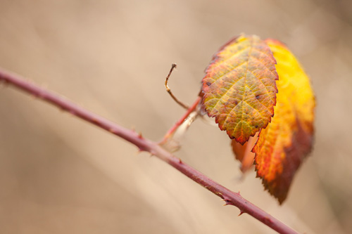 Photo of colorful bramble leaves in winter with no exposure compensation applied