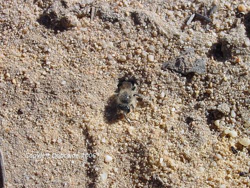 ground.nesting.bee