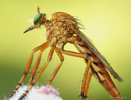Robber Fly........Explore