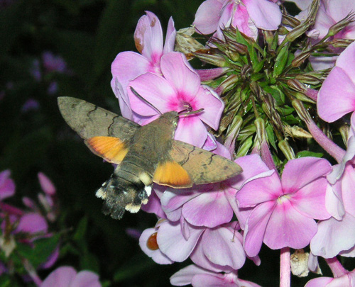 Hummingbird Hawk-moth (Macroglossum stellatarum), photographed in Hanko, Finland