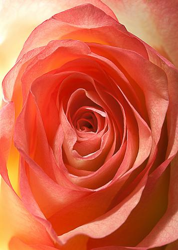 Rose 7623