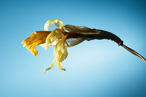 Photo of a dried daffodil flower.